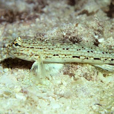 Decorated Goby
