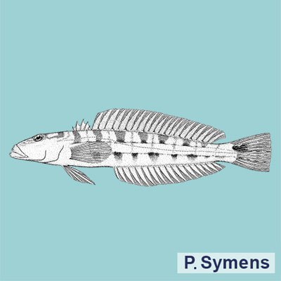 Smallscale Sandperch