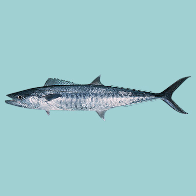 Narrowbanded Spanish Mackerel