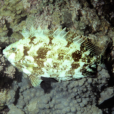 White-spotted Spinefoot