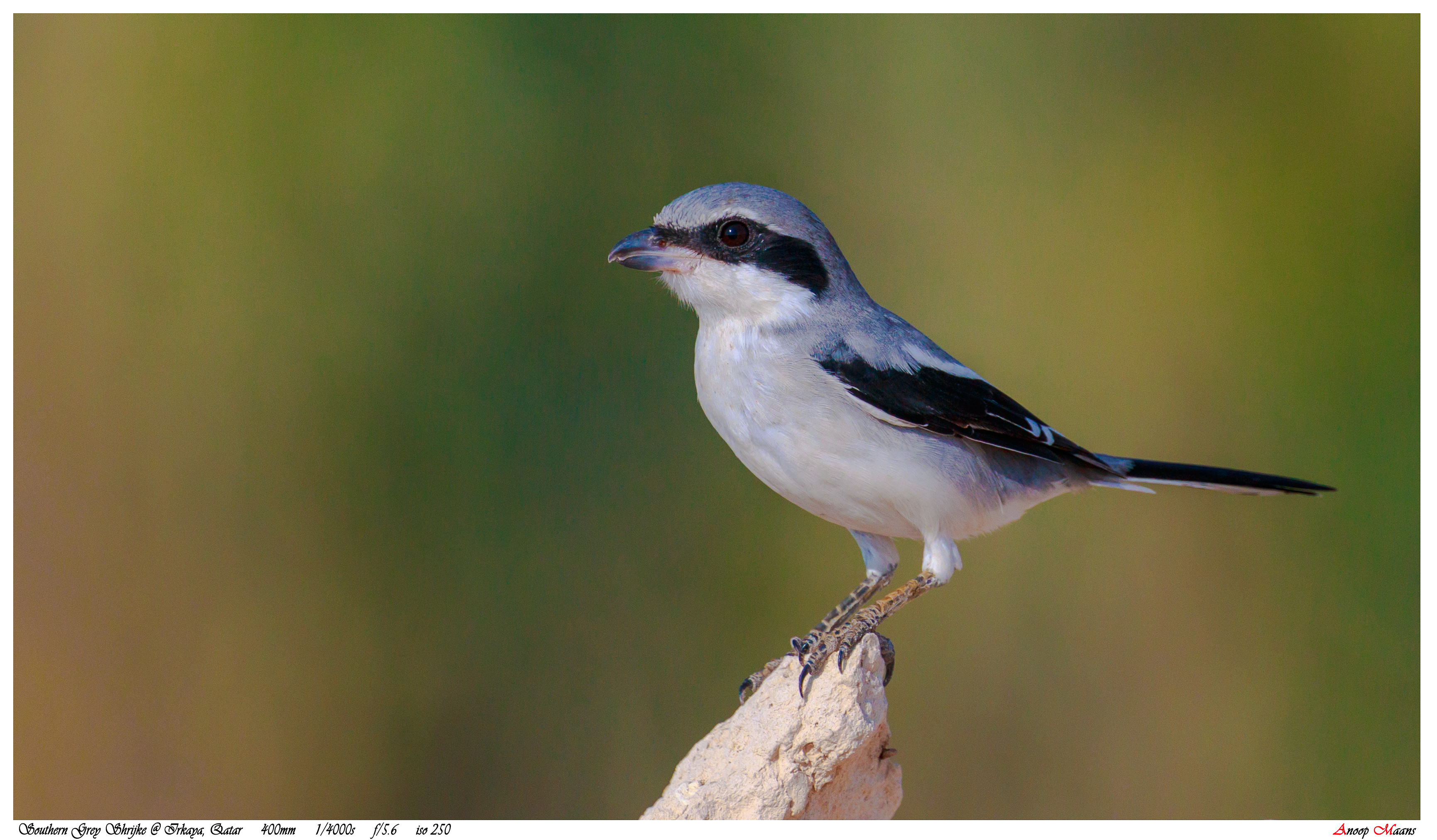 Shrike, Southern Grey
