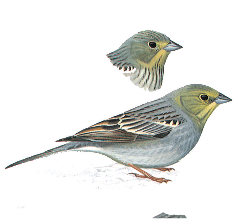 Bunting, Western Cinereous