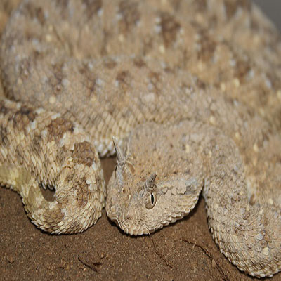 Arabian Horned Viper