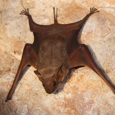 Naked-bellied Tomb Bat
