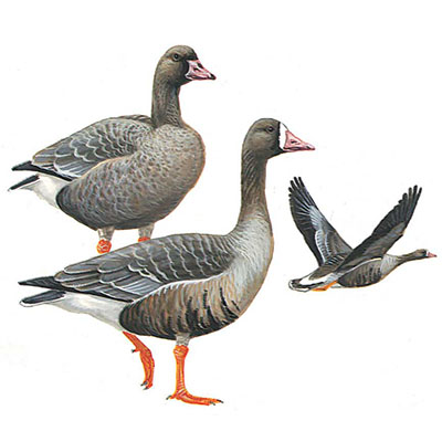 Goose. Greater White-fronted