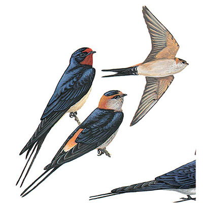 Swallow, Red-rumped