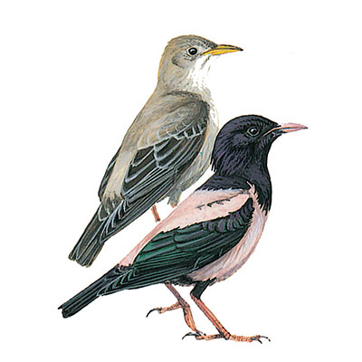 Starling, Rose-coloured