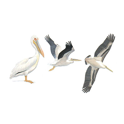Pelican, Great White
