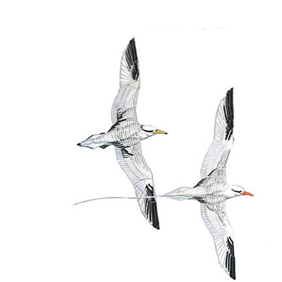 Tropicbird, Red-billed