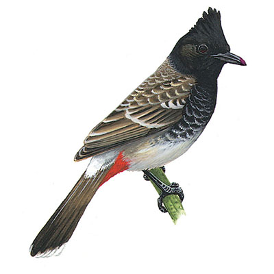 Bulbul, Red-vented