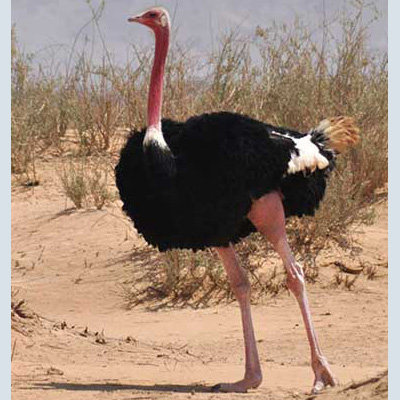 Ostrich, North African Red-necked