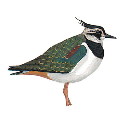 Lapwing, Northern