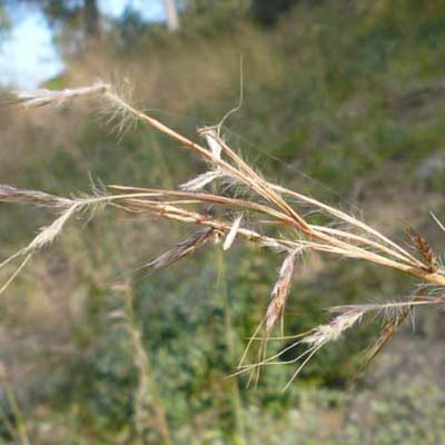 Blue-stem Grass