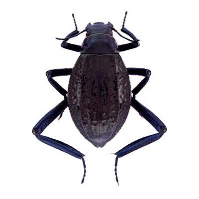 Adesmia beetle
