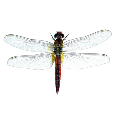 Broad Scarlet or Scarlet Dragonfly