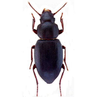 Falsocatomulus Beetle