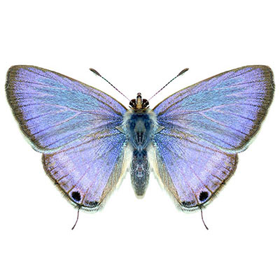 Pea Blue or Long-tailed Blue