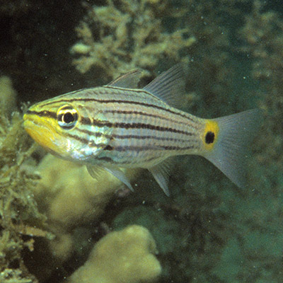 Persian Cardinalfish
