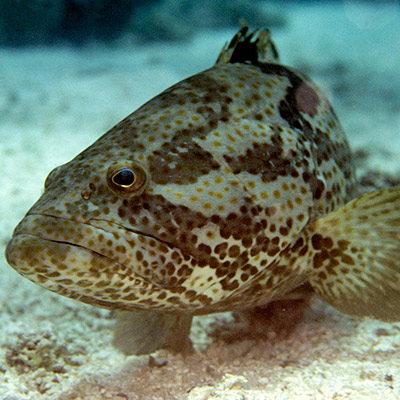 Orangespotted Grouper