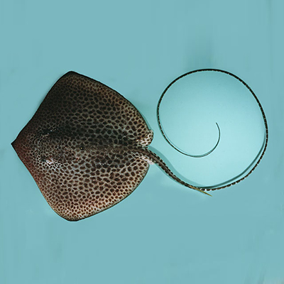 Reticulated Whipray