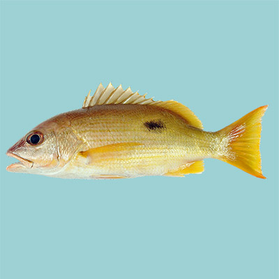 Blackspot Snapper