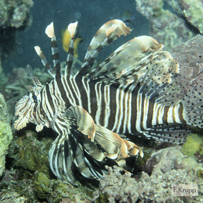 Military Turkeyfish