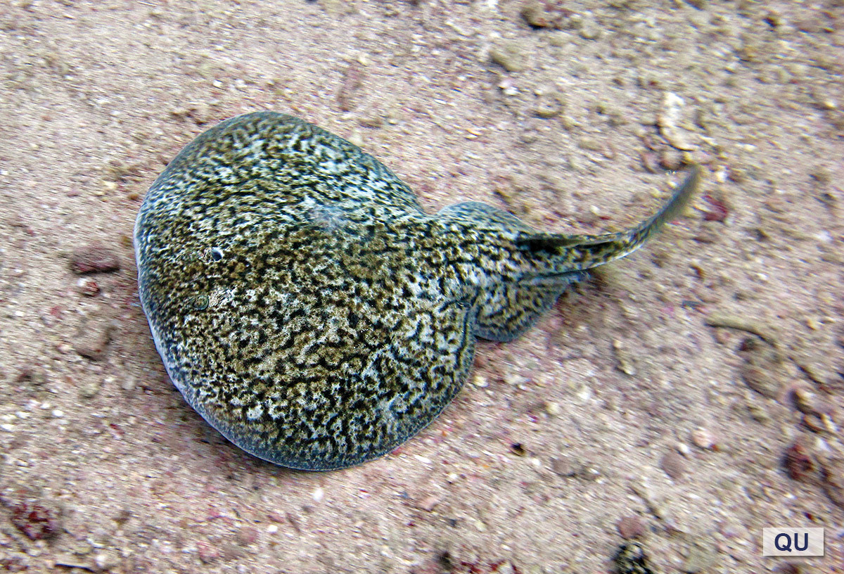 Qatar e-Nature – Marbled Electric Ray