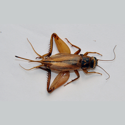 The House Cricket
